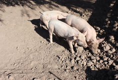 Three little pigs. In a little farm Stock Images