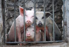 Three little pigs. Farm pigs in an enclosure Royalty Free Stock Photo