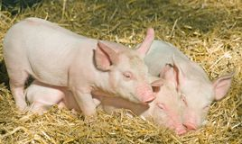Three Little Pigs. Three little pink piglets cuddle together on a comfortable bed of straw Stock Photos