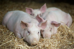 Three Little Pigs. Three Piglets laying in straw Stock Photos