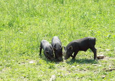 Three little pigs. Three little piglets on the grass Stock Photos