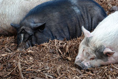Three Little Pigs. Three pigs or swine, sleepin in the mud in the setting summer sun Stock Image
