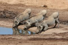 Three Little Pigs. Three warthog youngsters kneeling to drink water Royalty Free Stock Images