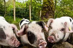 Three little pigs. In pink white dirty snouts Royalty Free Stock Photos