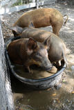 Three little pigs. Bathing in water Royalty Free Stock Photos