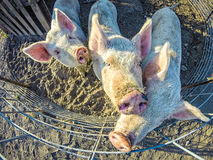 Three little pigs on the farm. Three little pigs on the  farm Royalty Free Stock Photos