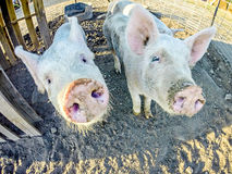Three little pigs on the farm. Three little pigs on the  farm Stock Images