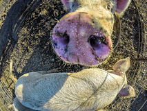 Three little pigs on the farm. Three little pigs on the  farm Royalty Free Stock Photography