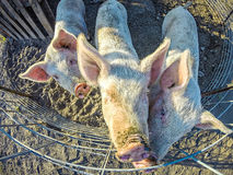 Three little pigs on the farm. Three little pigs on the  farm Royalty Free Stock Image