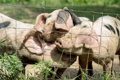 Three Little Pigs. On a farm Stock Image