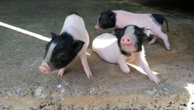 Three little pigs in the farm. Pink pigs in thailand royalty free stock photo