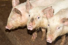 Three little pigs on the farm. In the park in nature Royalty Free Stock Photography