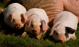 Three little pigs. Three Gloucester old spot piglets in a row Royalty Free Stock Photo