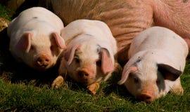 Three little pigs. Royalty Free Stock Photo