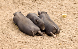 Three little pigs. From the one family are sleeping on the ground Royalty Free Stock Images