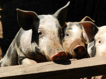 Three Little Pigs. Piglets living in a farm Stock Photo