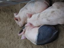 Three Little Pigs. 3 sleeping baby pink and gray  baby pigs lying in the dirt with adorable little ears all curled up together without a care in the world Stock Image