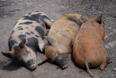 Three little pigs. Three pigs sleeping in the sun Stock Image