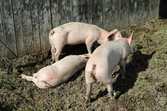 Three little pigs. Three small pink pigs plow the ground Stock Photography