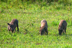 Three little pigs. Of warthog in Ngorongoro national park in Tanzania Royalty Free Stock Photo