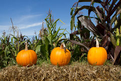 Three Little Pumpkins. Three pumpkins perched on a bale of straw Stock Image