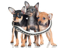 Three little puppies in a collar Stock Photo