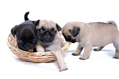 Three little puppies Mopsa play in a wattled basket Stock Image