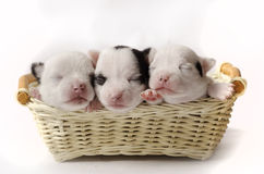Three little puppies. Three tiny newborn puppies in a basket Royalty Free Stock Image
