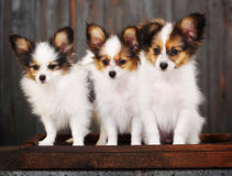 Three little puppy Royalty Free Stock Image