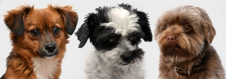 Little puppy dogs with big astonished  eyes  side by side. Three little  puppy dogs with big eyes  sitting side by side,  looks attentively into the camera Royalty Free Stock Photos