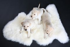 Three little puppy labrador Royalty Free Stock Photography