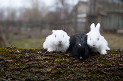 Three little rabbits Stock Images