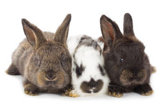 Three little rabbits Royalty Free Stock Photography