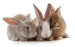 Three little rabbits. Three little rabbits on a white background royalty free stock images