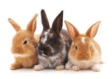 Three little rabbits. Royalty Free Stock Photography