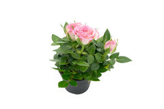 Three little roses with leaves in black flowerpot isolated on white background. Little roses with leaves in black flowerpot isolated on white background Stock Image