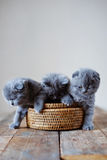 Three little scottish fold kitten in woven box Stock Photography