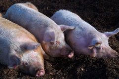 Three little sleeping pigs. At a local farm in British Columbia Royalty Free Stock Image