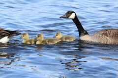 Free Three Little Spring Goslings Swimming With Their Parents Stock Photo - 184147020