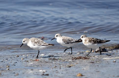 Three little stints at Quiberon in France Stock Photo