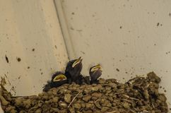 Three little Swallows into the nest. Swallows into the nest three little swallows and the mother family birds pets hungry feed Yellow beak black plumage life new stock images