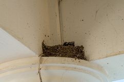 Three little Swallows into the nest. Swallows into the nest three little swallows and the mother family birds pets hungry feed Yellow beak black plumage life new stock photography