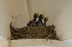 Three little Swallows into the nest with open beak. Swallows into the nest three little swallows and the mother family birds pets hungry feed Yellow beak black stock images