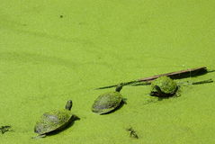 Three Little Turtles Covered in Green. Turtles on a log camouflaged by green duckweed (water lentils) in a swamp Stock Image