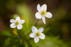 Three little white flowers on green grass background Royalty Free Stock Photography