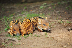 Three little wild boar piglets Stock Photo