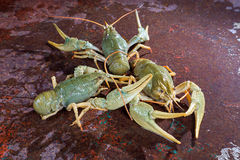 Three live crayfish Royalty Free Stock Images