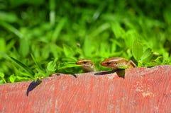 Three lizard hiding in the grass Stock Photos