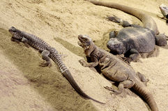 Three lizards on sand Royalty Free Stock Photos