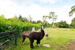 Three llamas in a green field. A group of three llamas in a field, one dark brown, one light brown and one with a white front , background of plants and trees Royalty Free Stock Image